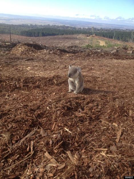 koala-470