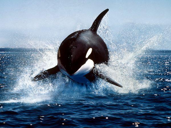 killer-whale_