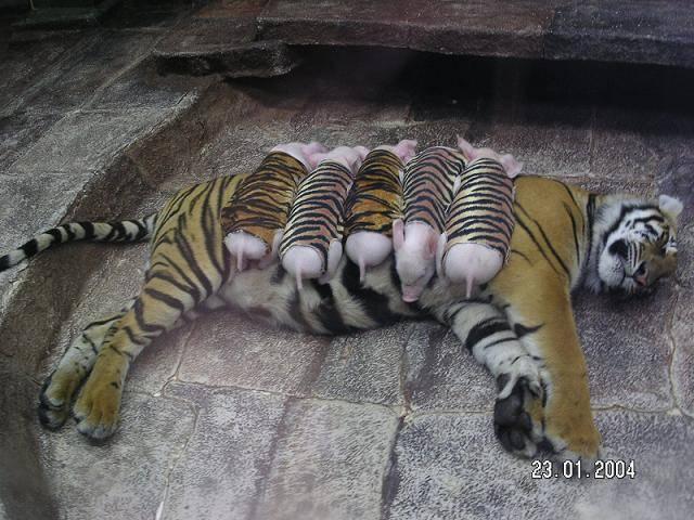 mom_tiger_2