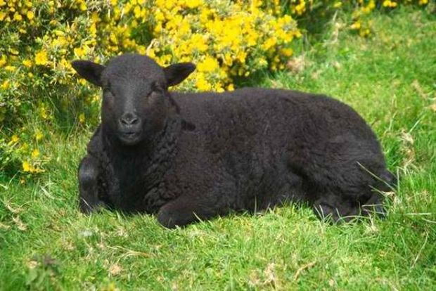 Τα μαύρα πρόβατα-Κριός