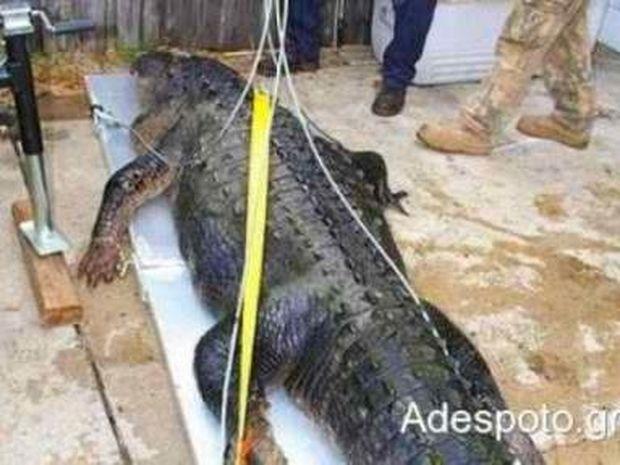 Αλιγάτορας στην Κέρκυρα!