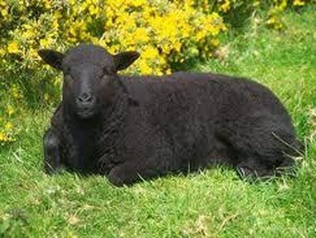 Μαύρα Πρόβατα-Ζυγοί