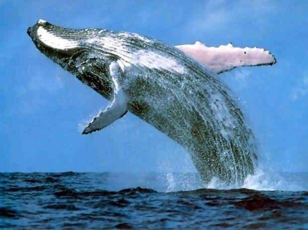 Ξεβράστηκε νεκρή φάλαινα στη Μύκονο