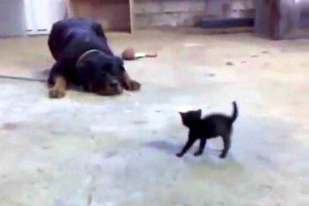 Εκπληκτικό: Γατάκι τα βάζει με τεράστιο σκύλο