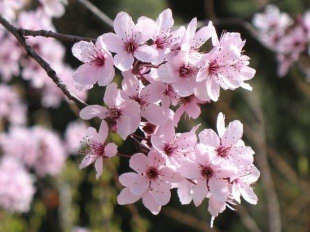 Τα ανθοϊάματα Μπαχ και η εξισορροπιστική τους δράση: Cherry Plum