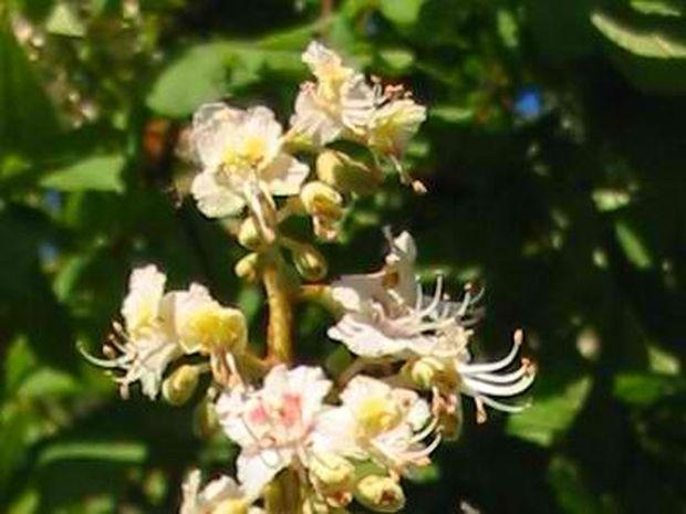 Chesnut Bud: Επαναλαμβανόμενα λάθη και διδάγματα ζωής