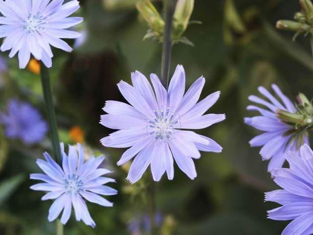 Chicory: Κτητικότητα vs Ανιδιοτέλεια