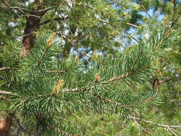 Ανθοΐαμα Pine: Για εσωτερική λύτρωση από τις ενοχές