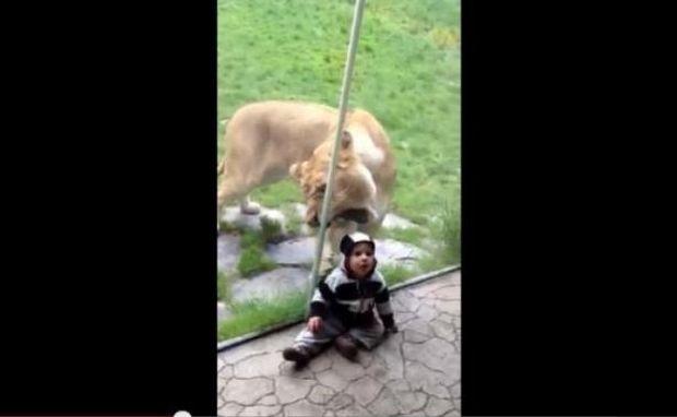 ΣΟΚΑΡΙΣΤΙΚΟ VIDEO: Λιοντάρι προσπαθεί να φάει ένα παιδάκι πίσω από το τζάμι!