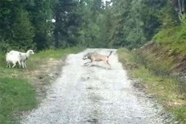 VIDEO: Μπορούν μερικά πρόβατα να τρομάξουν έναν λύκο;