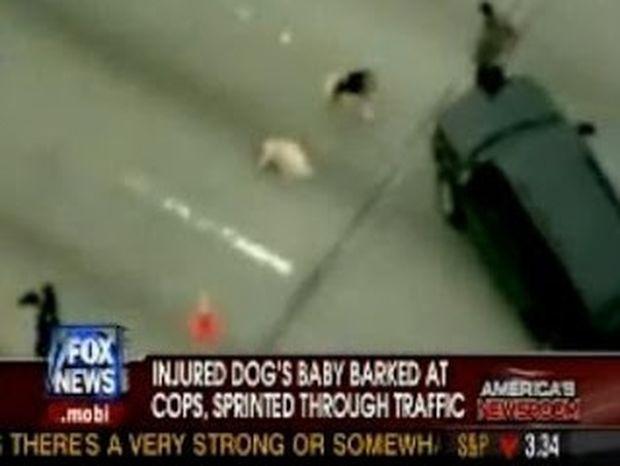ΣΥΓΚΛΟΝΙΣΤΙΚΟ VIDEO: Σκύλος στην Εθνική οδό προστατεύει την τραυματισμένη μητέρα του!