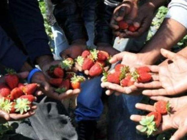 Απίστευτο: Δέκα αιτήσεις για 4.400 θέσεις στα φραουλοχώραφα Μανωλάδας