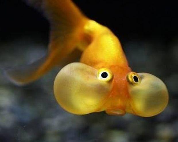 ΔΕΙΤΕ: Χρυσόψαρα με μάγουλα…!
