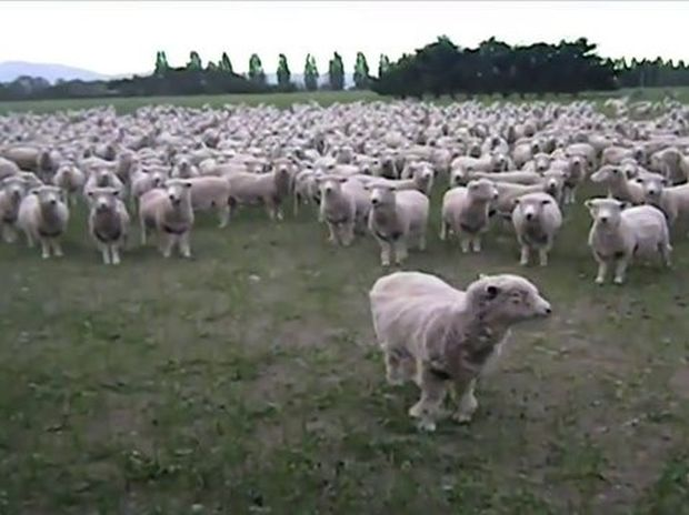 VIDEO: Απίστευτος τσοπάνης μιλάει με τα πρόβατα του τέλεια!