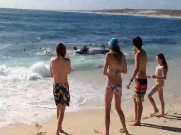 Βίντεο: 100 καρχαρίες κατασπαράζουν φάλαινα μπροστά σε σέρφερς!