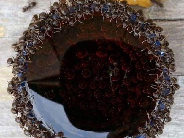 Δείτε πώς κάνουν τα μυρμήγκια μόλις βρεθούν κοντά σε αναψυκτικό!