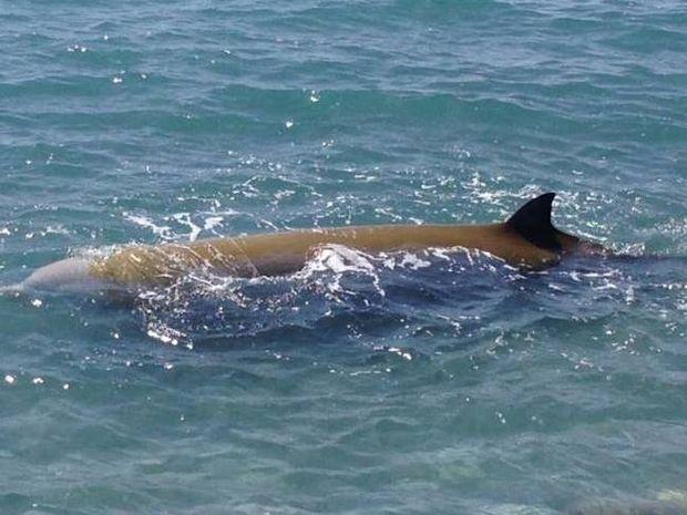 Φωτογραφίες-ΣΟΚ: Διάσωση δελφινιών στην Κρήτη-«Κοκκίνησε» η θάλασσα