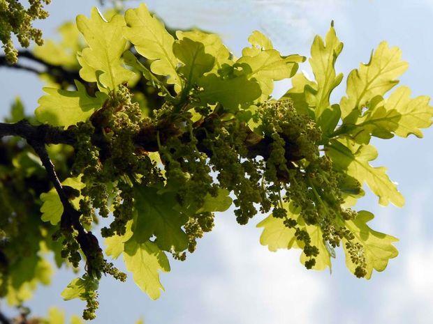 Ανθοΐαμα Oak: Ισχυρές αντοχές και δύναμη θέλησης