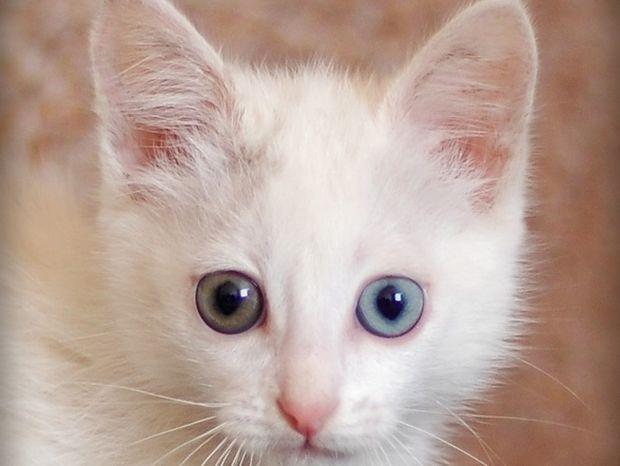 Πανέμορφες γάτες με διαφορετικό χρώμα στα μάτια τους!