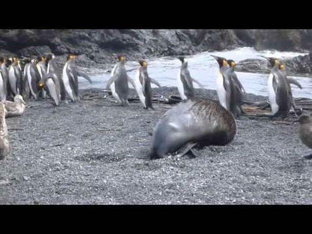 Θαλάσσιοι ελέφαντες βιάζουν πιγκουίνους στην Ανταρκτική!
