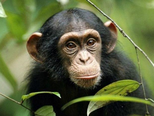 Είσαι εξυπνότερος από ένα χιμπατζή; (video)