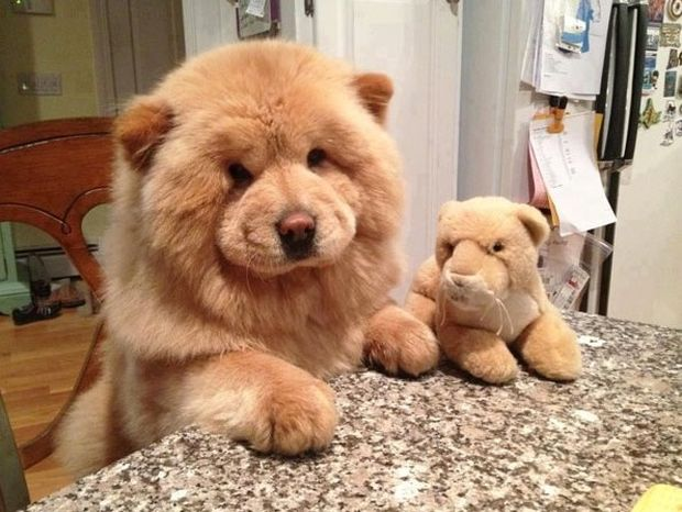 Αυτά τα όμορφα παχουλά σκυλάκια θυμίζουν αρκουδάκια!