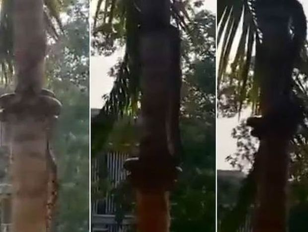Πώς σκαρφαλώνει ένα φίδι στο δέντρο; Η απάντηση θα σας... τρομάξει (video)