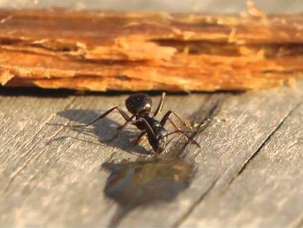 Τι γίνεται αν ένα μυρμήγκι πιει… βότκα; (video)