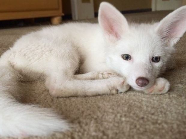 Είναι το πιο διάσημο αλεπουδάκι του διαδικτύου και είναι πανέμορφο! (βίντεο)