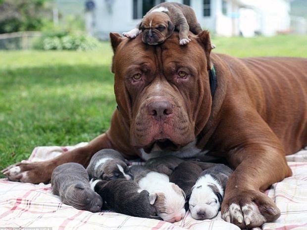 Το μεγαλύτερο pit bull στον κόσμο, έγινε μπαμπάς! Tα κουτάβια του αξίζουν πάνω από 400.000 ευρώ!