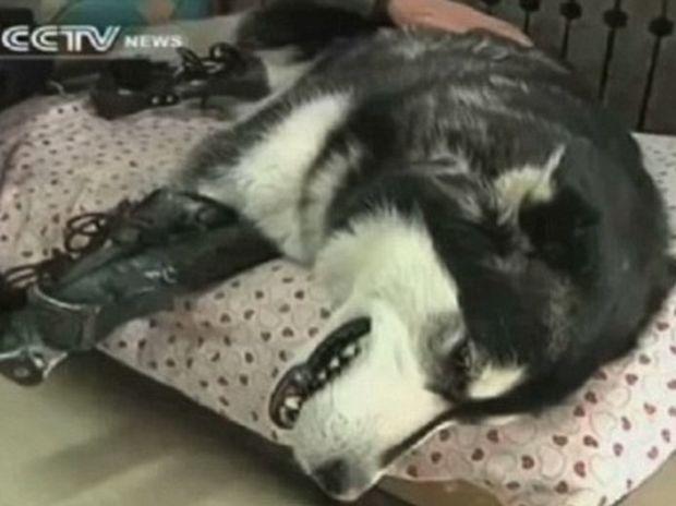 Συγκλονιστικό! Του έκοψαν τα πόδια, το κακοποίησαν κι όμως αυτό το χάσκι μπορεί και περπατάει ξανά! (video)