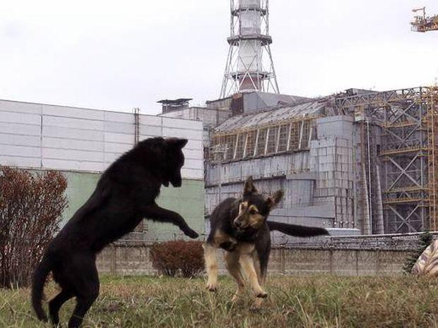Tα άγρια ζώα κυρίευσαν το Τσέρνομπιλ