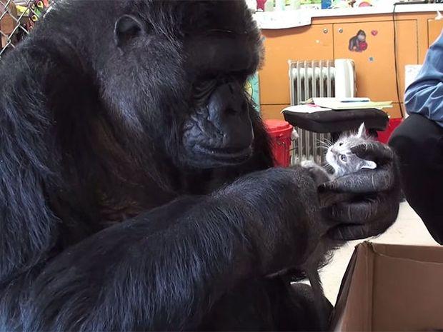 Η συγκινητική ιστορία ενός γορίλα που υιοθέτησε 2 γατάκια!