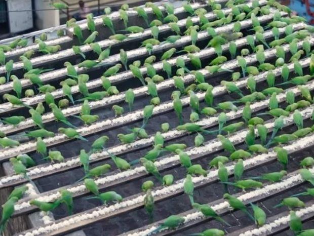 Ξεκίνησε να πετάει λίγο ψωμί στα πουλιά και τώρα ταΐζει περίπου 4.000 παπαγάλους τη μέρα (video)
