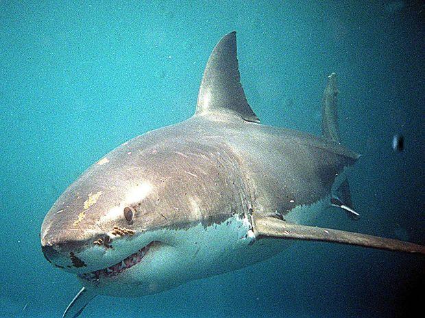 Η πιο άγρια επίθεση μεγάλου λευκού καρχαρία σε νεόνυμφους! (video)
