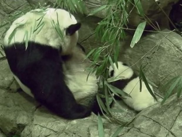 Ο Bei Bei, το πιο διάσημο αρκουδάκι πάντα της Αμερικής, έκανε τα πρώτα του βήματα!