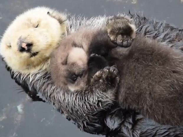Αυτή η μαμά βίδρα με το νεογέννητο μωράκι της είναι ό,τι πιο γλυκό θα δείτε σήμερα! (video)