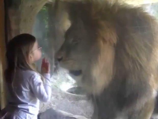 Δε φαντάζεστε την αντίδραση του λιονταριού όταν το κοριτσάκι του έστειλε ένα φιλί! (video)