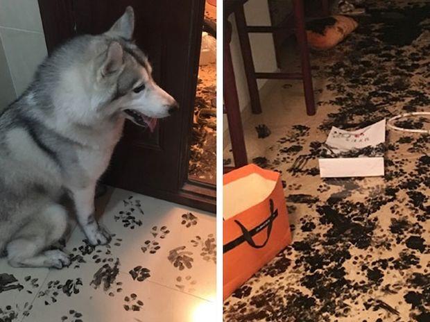 Το χάσκι έμεινε μόνο του για τρεις ώρες και άλλαξε εντελώς τη διακόσμηση του σπιτιού! (photos)