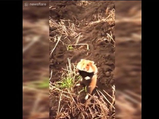 Το χάμστερ γίνεται νίντζα για να προστατέψει την περιοχή του! (video)