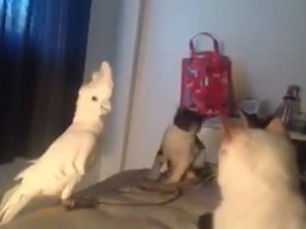 Απίστευτο! Ο παπαγάλος νιαουρίζει για να τον βάλουν οι γάτες στην ομάδα τους! (video)