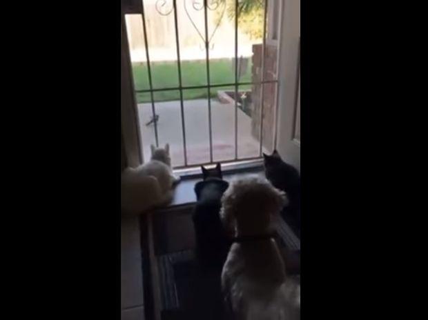Ξεκαρδιστικό! Ο σκύλος κάνει τις γάτες να τιναχτούν στον αέρα απ' την τρομάρα τους!