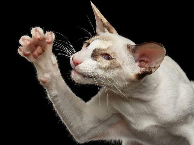 Καμπανάκι CDC: Σοβαροί κίνδυνοι από τη γρατζουνιά της γάτας