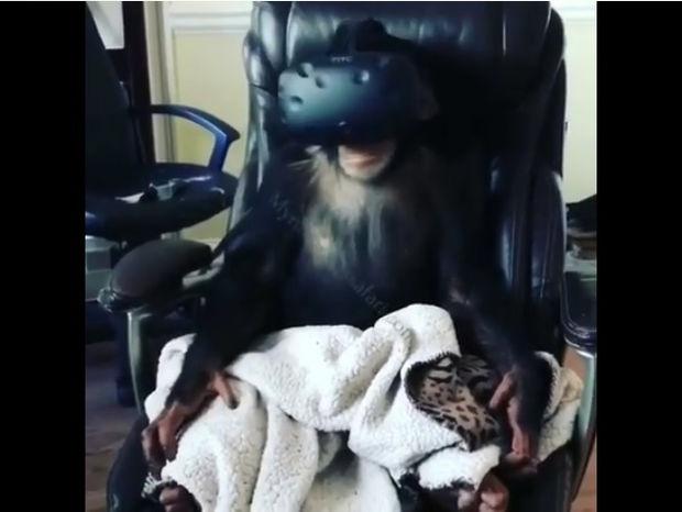 Ξεκαρδιστικό! Ο χιμπατζής δοκιμάζει γυαλιά εικονικής πραγματικότητας! (video)
