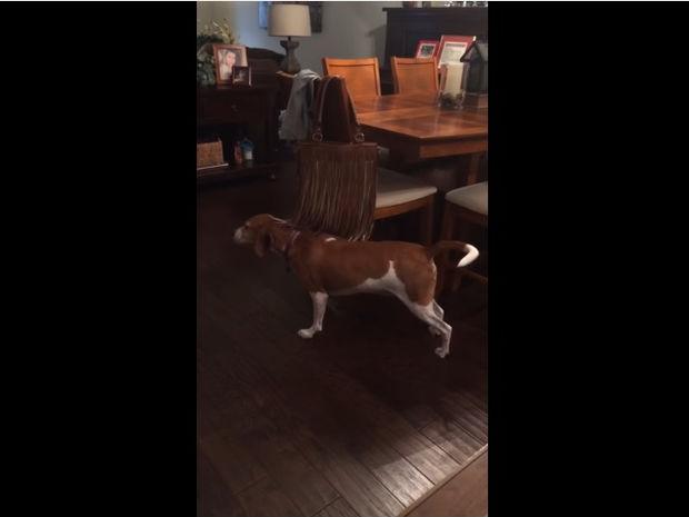 Ξεκαρδιστικό! Ο σκύλος έχει φετίχ με τα κρόσια! (video)