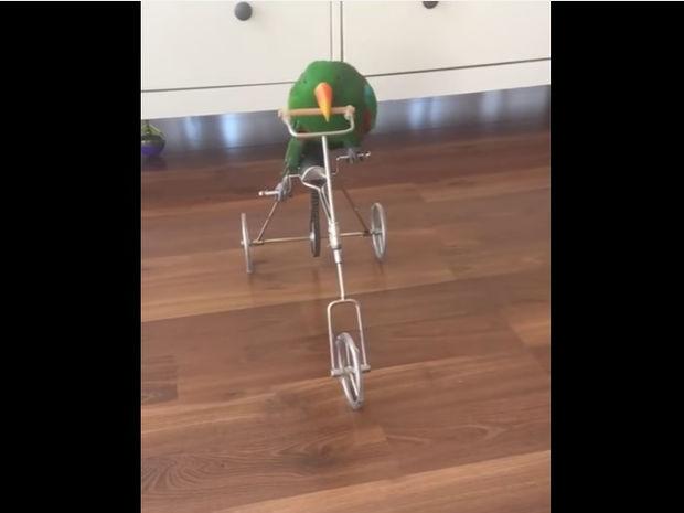 Απίστευτο! Ο παπαγάλος κάνει κανονικά ποδήλατο! (video)