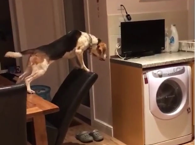Επικίνδυνες αποστολές! Ο σκύλος θα κάνει τα πάντα για να φτάσει τις λιχουδιές!