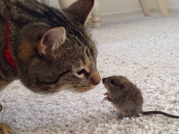 Κι όμως συνέβη: Γάτα παίζει με ένα ποντικάκι (vid)