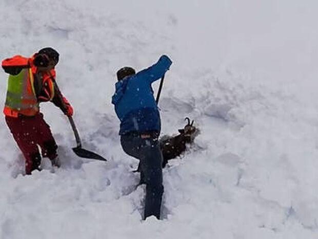 Απίστευτη διάσωση κατσίκας που «θάφτηκε» στο χιόνι (vid)