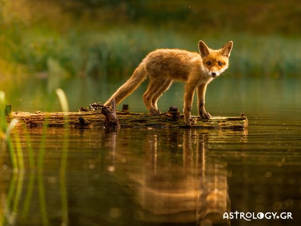 Ονειροκρίτης: Είδες στο όνειρό σου αλεπού;